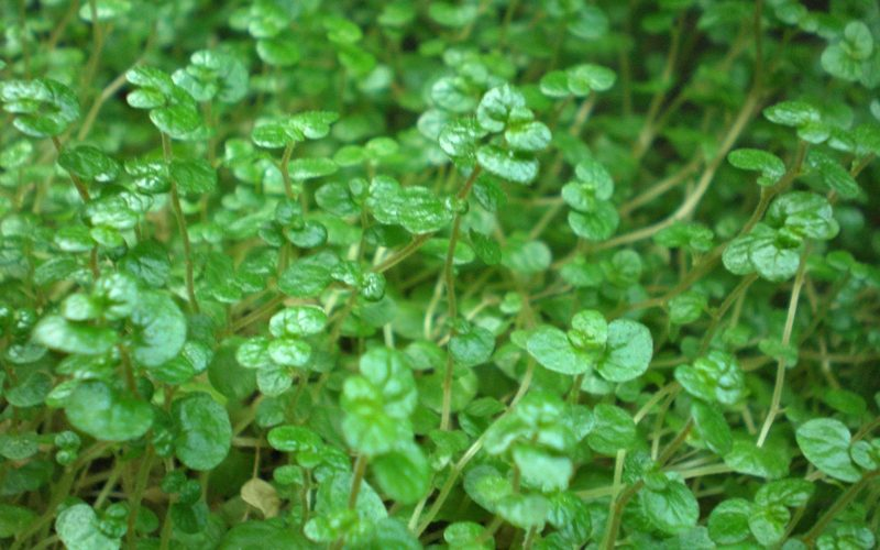 Soleirolia
