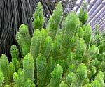 Adenanthos