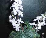 Chamaeranthemum