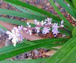Liriopelour