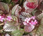 Pseuderanthemum