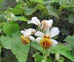 Sparmannia