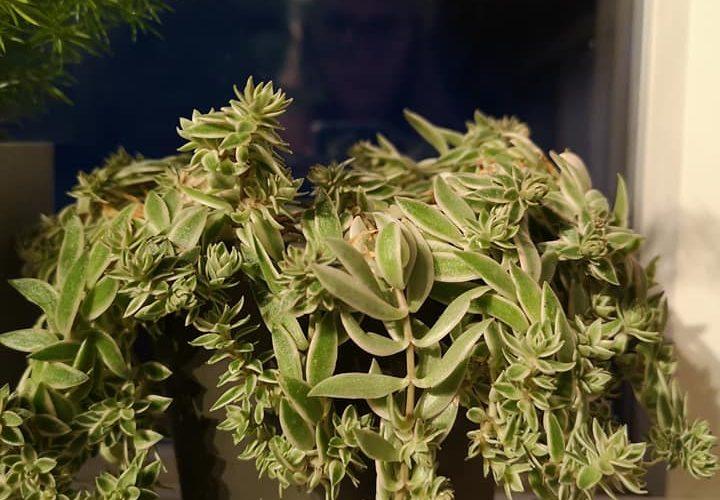 Succulent?