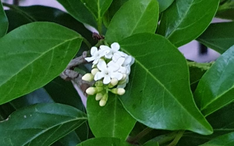 Evergreen small shrub/tree with small white clustered flowers