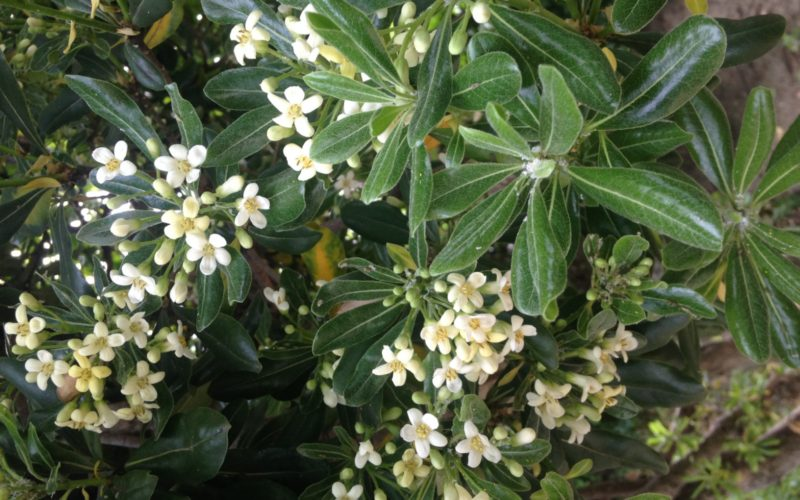 Shrub with white flowers