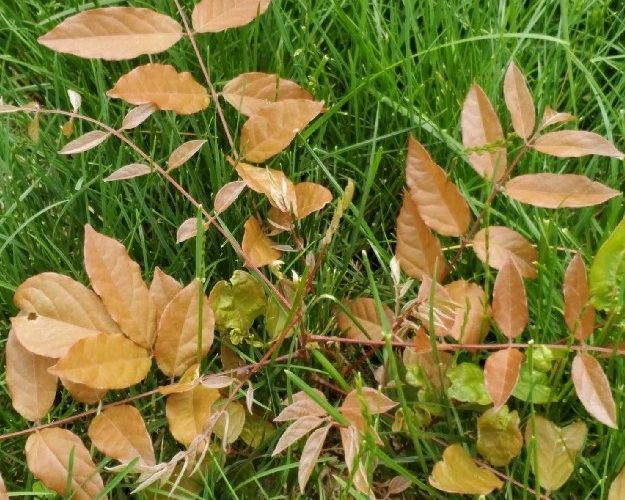Reddish plant