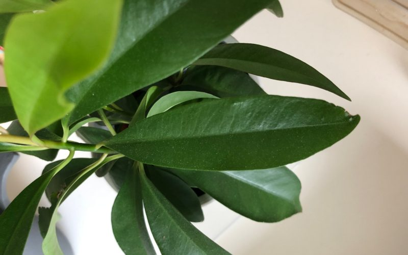 long dark green leaves