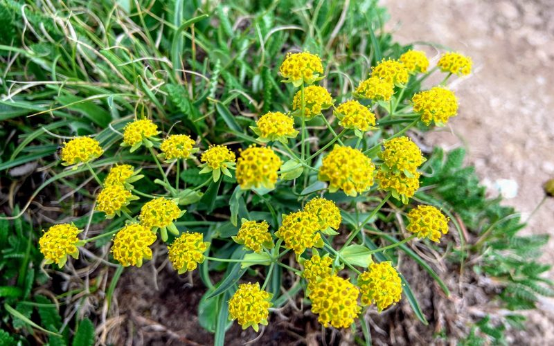 Yellow wildflowers in Alaska