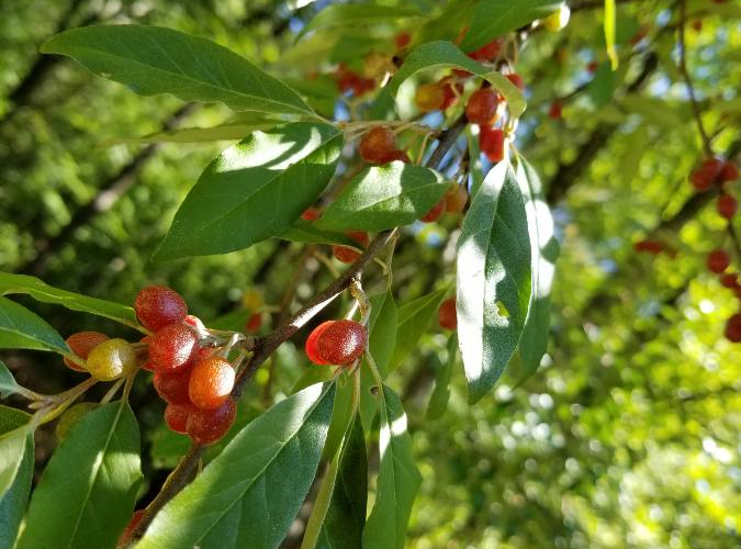 Red fruits with green leaves