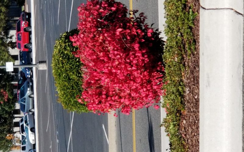 Bright red bush
