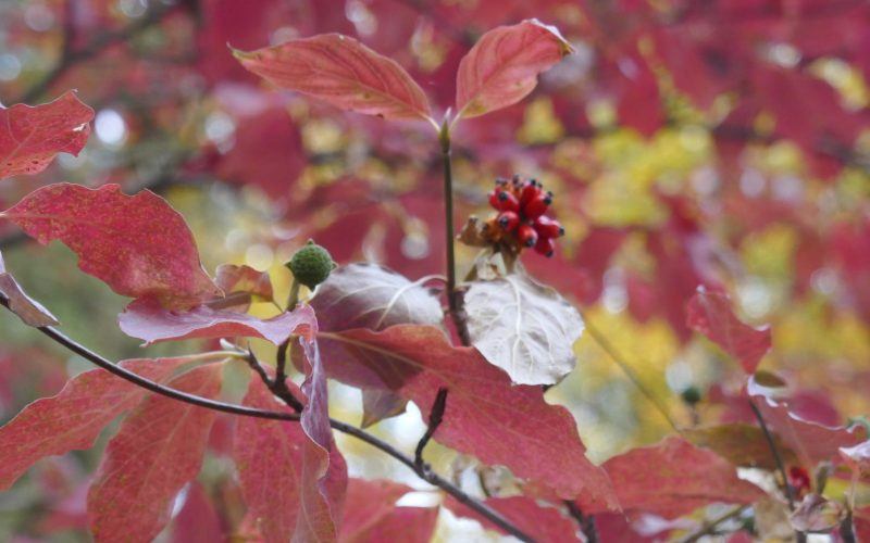 red autumn leaves with berries