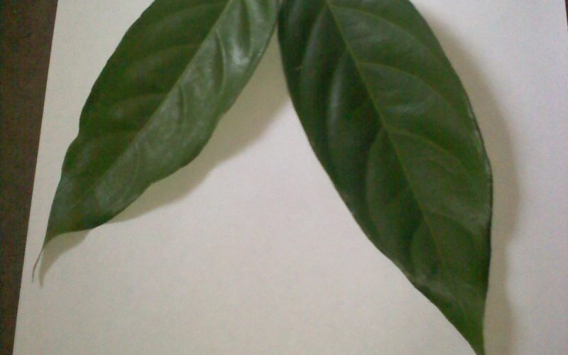Green oblong leaves