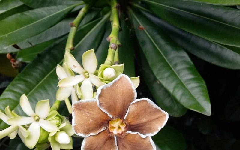 Brown flower with white trim