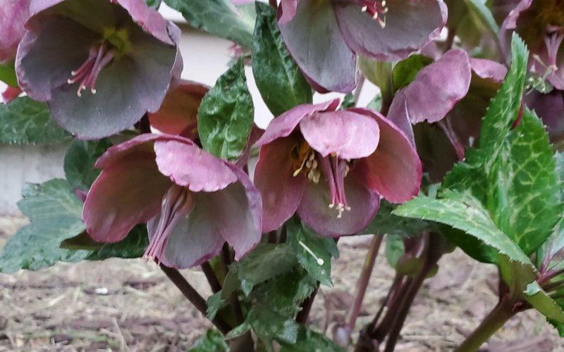 Leathery flowers