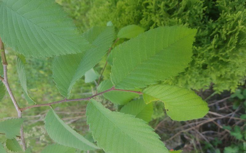 Green leaved… tree?