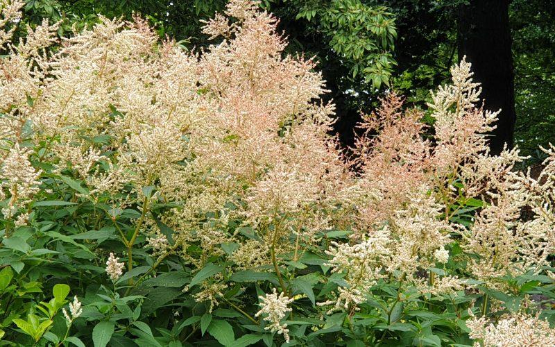 White flower shrub