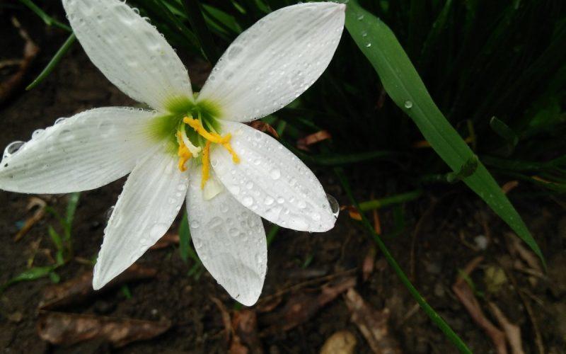 Zephyranthes flower