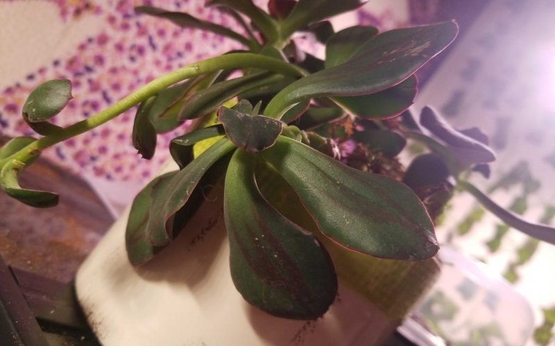 Purple and green leaves woody stalk trailing succulent