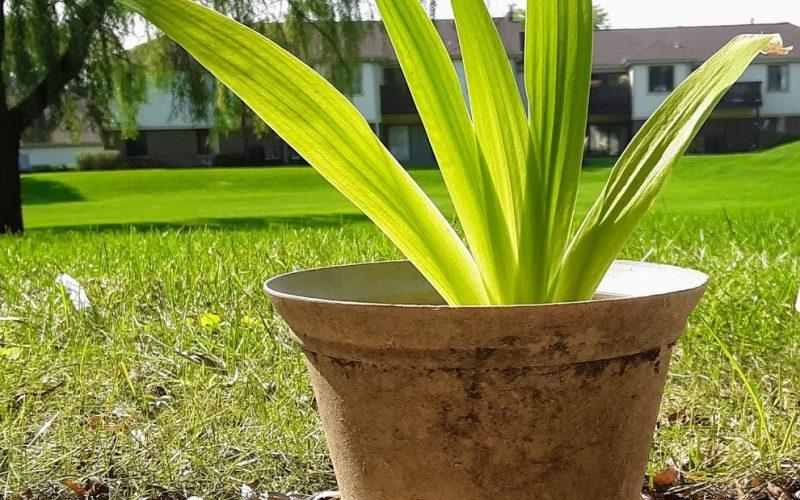 Striped Green 5-Leafed Random Plant Around a half a Foot high