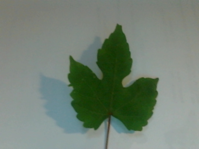 Vine with 3-lobed leaf