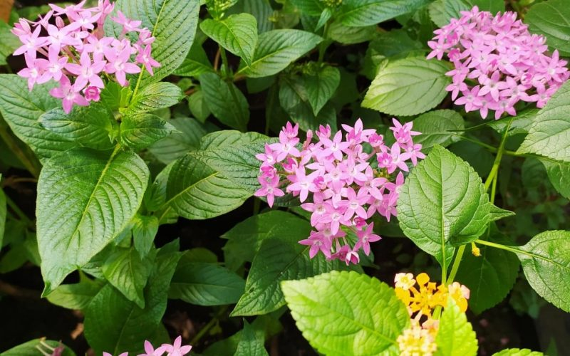 Small Pink flowered butterfly plant