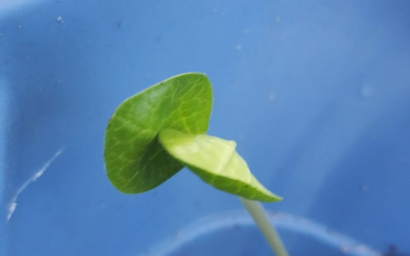Green plat round leaves