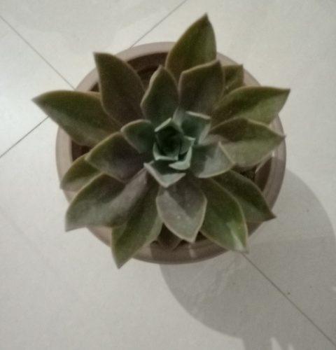 Green small fleshy plant