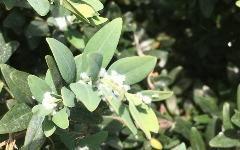 Plant with white growth