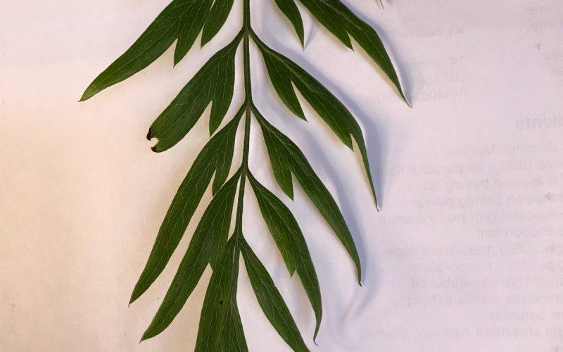 Compound tree leaf