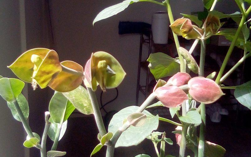 Open pink bells
